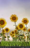 Screenshot of Sunflowers Free Live Wallaper