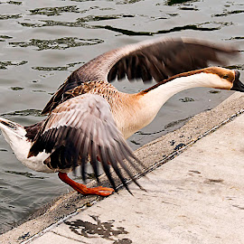 by Lee Jorgensen - Animals Birds ( lake, birds, animal, goose,  )