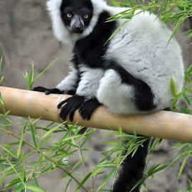 Lemur by Dawn Hoehn Hagler - Animals Other Mammals ( zoo, reid park zoo, black and white, primate, lemur,  )