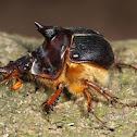 Geotrupid Beetle