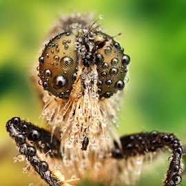 Dew by Ondrej Pakan - Animals Insects & Spiders ( macro, dew, dew drops, insect, robberfly )