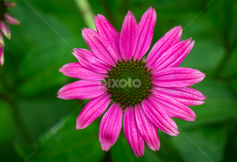 Wildberry Coneflower by Jeff Lebovitz - Flowers Single Flower ( red, berry color, coneflower, vibrant, echinacea )