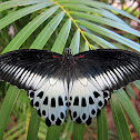 Blue Mormon (female)