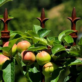 Vineyard Apples by Mina Thompson - Food & Drink Fruits & Vegetables ( wrought iron fence, oregon, fruit, vineyard, apples, landscape )