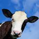 Crazy Cow Simulator FREE