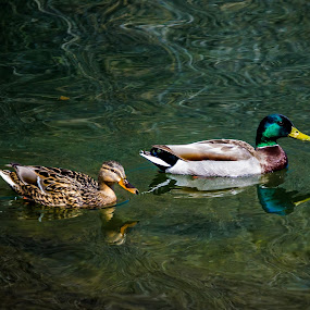 Mating pair of Mallard ducks by Scott Morgan - Animals Birds ( water, mallard, female, pair, male, ducks, duck, swimming,  )