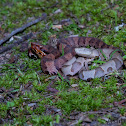 Cottonmouth and Copperhead