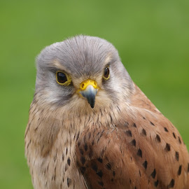 RF14 sep by Garry Chisholm - Animals Birds ( bird, garry chisholm, nature, wildlife, prey, kestrel, hawk )