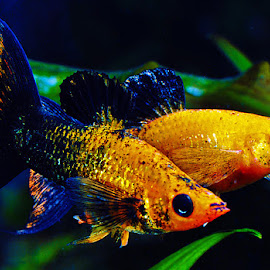 Gold tux lyretail mollies by David Winchester - Animals Fish