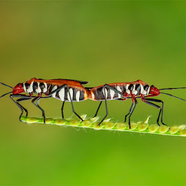 Bapak Pucung by Abdul Aziz - Animals Insects & Spiders ( canon, macro, nature, art, insect, animal )