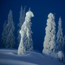 Mountain trees by Kjersti Narmo - Nature Up Close Trees & Bushes ( winter, tree, blue, snow, trees, night )