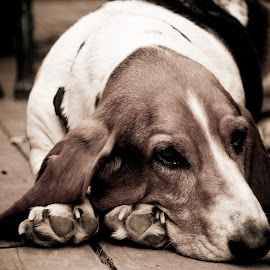 Harley 5.5 yrs 1 by David Leer - Animals - Dogs Portraits ( harley, oregon, benton, 2014, male, basset, valley, cute, close up, portrait, county, hound, tricolor, pet, fall, outdoor, willamette, dog, animal )