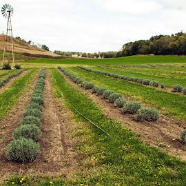 Lavender Farm by Howard Mattix - Landscapes Prairies, Meadows & Fields ( iowa, hills, farms, crops, landscapes, losses hills )