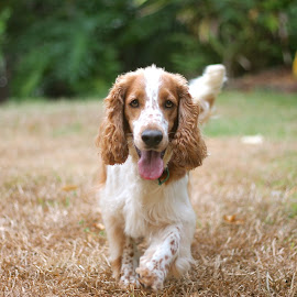 Mickey Dog by Gabby Rundle-Thiele - Animals - Dogs Portraits ( walking, dogs, springer spaniel, spaniel, mickey, dog portrait, welsh springer spaniel,  )