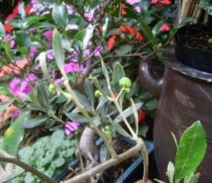 olives maison