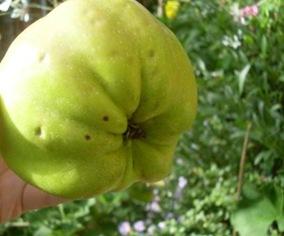 pomme calville blanc