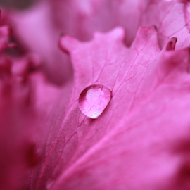 Ruffles by Lindsay Shaffer - Nature Up Close Natural Waterdrops ( water, petals, drop, pink, flower )