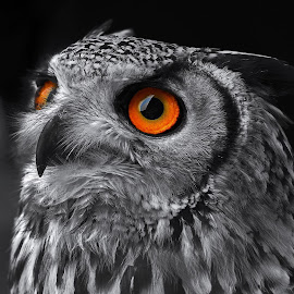 owl eyes by John Aspley - Animals Birds