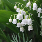 Lily of the Vally