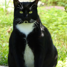 All Dressed Up by Jonna Flynn - Animals - Cats Portraits ( cat, tuxedo, florida, jacksonille, bicolor )