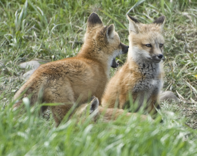 baby red foxes part 2  u2013 tales from echo canyon