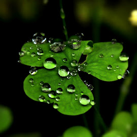 Nature's art by Susan Palmer - Novices Only Macro ( plant, macro, nature, clover, rain,  )
