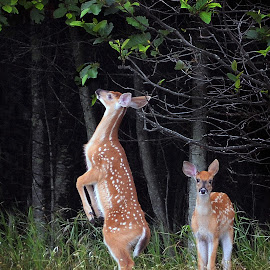 Snacking by Lee Martin - Animals Other Mammals ( deer fauns., wildlife )