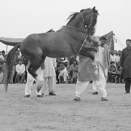 Horses Dance by Junaid Gujjar - Animals Horses ( event, performance, crowd,  )