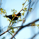 Red winged blackbird - Tordo alirrojo