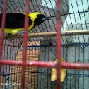 Turpial Toche - Yellow-backed Oriole