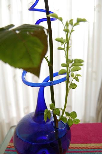 schnitt pflege und d ngung von rosen hilfe meine schnittrose bekommt einen ableger www. Black Bedroom Furniture Sets. Home Design Ideas