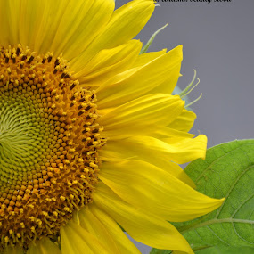 Sunflower by Patricia Warren - Typography Quotes & Sentences ( nature, petals, sunflower, wildlife, leaves, garden, flower, flowerhead )
