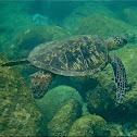 Green sea turtle, honu