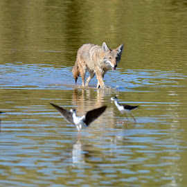 Coyote on Stilts by Steven Bach - Animals Other ( canis latrans, himantopus mexicanus,  )