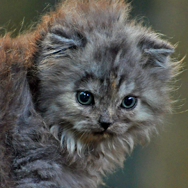 by Cacang Effendi - Animals - Cats Portraits ( cattery, kitten, animals, chandra, catsofinstagram )
