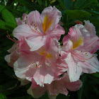 Rhododendron (pale pink)