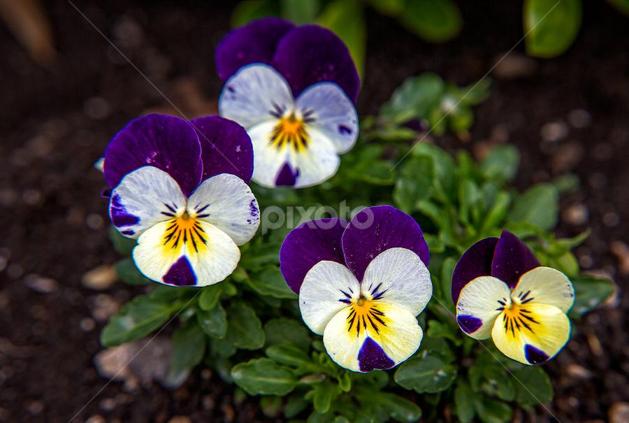 Pansy by Stanislav Horacek - Flowers Flower Gardens