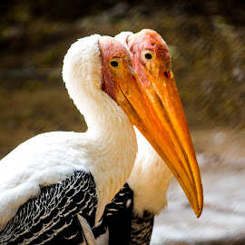 Pelican by Shreenivas Yenni - Animals Birds ( waterpelican, cutepelican, pelicans, pelican, pelicana )