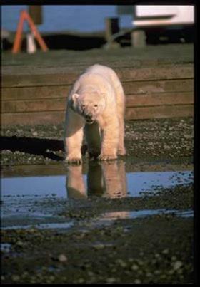 21-Polar_2bear