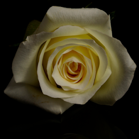 White Rose by Cristobal Garciaferro Rubio - Flowers Single Flower