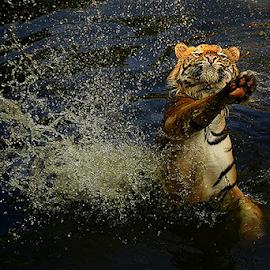 Powerfull Swing by Joshua Sujasin - Animals Lions, Tigers & Big Cats ( panthera tigris, sumatera tiger, south jakarta, vertebrae, ragunan zoo )