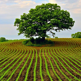 Lone Oak by Julie Schilling Franco - Landscapes Prairies, Meadows & Fields ( field, tree, crops, farming )