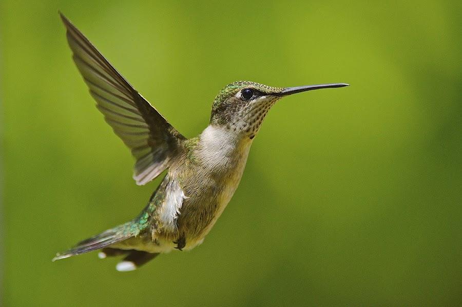 Tail Bend by Roy Walter - Animals Birds ( flight, animals, wildlife, birds, humming bird )