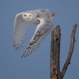 Snowy owl leaving perch by Paul Kammen - Animals Birds ( bird, owl, snowy, snowy owl, birds )