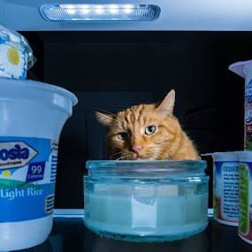 Mmmmm...Ambrosia..! by Michael Ripley - Animals - Cats Playing ( raid, cat, ginger, fridge, milk, tom, ambrosia )