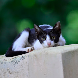 Why are you staring? by Vin Shutterbug - Animals - Cats Kittens ( cat on fence, kitten, cat, stare, cat on wall, staring cat )