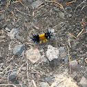 Spotted Tussock Moth, Yellow Woolly Bear