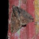 Crioa Moth