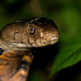 Mozambican Spitting Cobra by Stuart Skene - Animals Reptiles ( snake, nature, spitting, nikon, cobra )