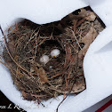 Carolina wren (nest and eggs)